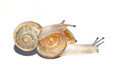 Two snails the close up of with white background Royalty Free Stock Photos