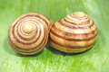 Two snails on a green leaf. Royalty Free Stock Photo