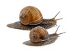 Two snails isolated on a white background Stock Images