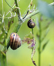 Two snails on a plant Stock Photography