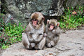Two snow monkey babies, Jigokudani, Nagano Royalty Free Stock Photo
