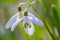 Two snowdrop flowers in the spring forest galanthus nivalis Royalty Free Stock Photo