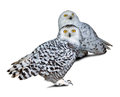 Two snowy owls nyctea scandiaca over white background Royalty Free Stock Photography