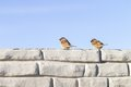 Two sparrows chat in winter on the wall Royalty Free Stock Photo