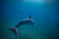 Pod of wild dolphins underwater Royalty Free Stock Photo