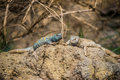 Two spiny tailed lizards small on the rock Royalty Free Stock Photography
