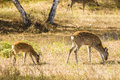 Two spotted deer eat grass are eating Stock Photo