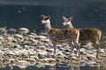Two spotted deer in middle of river looking left side Royalty Free Stock Image