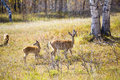 Two spotted deers on the grassland Stock Photos