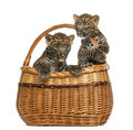 Two spotted leopard cubs in wicker basket isolated on white Royalty Free Stock Images