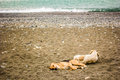 Two spotted tired dog is resting lying on a sandy beach by the sea Royalty Free Stock Photo