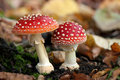 Two spotted toadstools Royalty Free Stock Photos