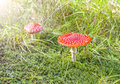 Two spotted toadstools on grass and moss Royalty Free Stock Photo