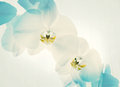 Two spring orchid flower close up of white orchids on light background white Stock Image