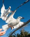 Two squabbling Australian Seagulls, Silver Gulls, in full flight Royalty Free Stock Photo