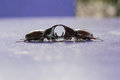 Two stags or rhinoceros beetles on purple table Stock Photo