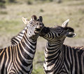 Two stallion zebras fighting. Royalty Free Stock Photo