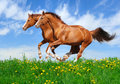 Two stallions gallop in field Royalty Free Stock Image