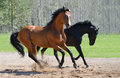 Two stallions gallop on manege Stock Photo