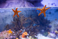 Two starfish floating in a tank with coral at the aquarium Stock Images