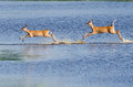 Two Startled Deer Running Through the Water Royalty Free Stock Image