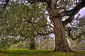 Two Stately Oak Trees Royalty Free Stock Photo