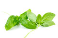 Two stems of green sweet basil Royalty Free Stock Image