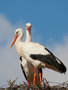 Two storks on a nest Royalty Free Stock Photo