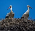 Two storks in a nest Royalty Free Stock Photo