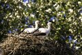 Two storks in a nest on a hot summer day. Royalty Free Stock Photo