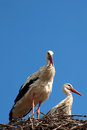 Two storks in the nest opposite blue sky Royalty Free Stock Image