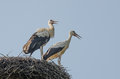 Two storks in the nest Royalty Free Stock Photo