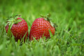 Two strawberries in green grass Royalty Free Stock Image