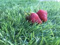 Two strawberrys on the green grass Royalty Free Stock Photo