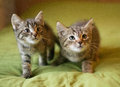 Two striped kitten sneak up on a green background Stock Photo