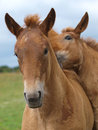 Two Suffolk Punch Horse Foals Royalty Free Stock Photography