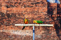 Two Sun Conure parrot birds Royalty Free Stock Photo
