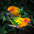 Two sun conures parrots sitting tree branch square composition Stock Photo