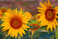 Two sunflowers Royalty Free Stock Photography