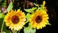 Two Sunflowers In Botanical Ga...