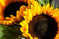 Two sunflowers, close up Royalty Free Stock Photo