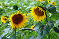 Two sunflowers in field closeup of yellow green Royalty Free Stock Photos
