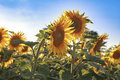 Two Sunflowers In The Field Royalty Free Stock Photo