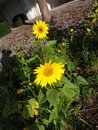 Two Sunflowers in a garden Royalty Free Stock Photo