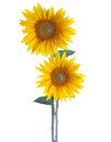 Two Sunflowers Royalty Free Stock Photo