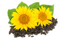Two sunflowers with seeds and leaves isolated on white background Royalty Free Stock Photo
