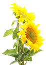 Two sunflowers. Royalty Free Stock Photo