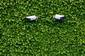 Two surveillance cameras hidden in the wall of evergreen plants Royalty Free Stock Photo