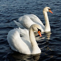 Two swans. Stock Photos