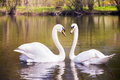 Two swans in a dimply water Royalty Free Stock Images